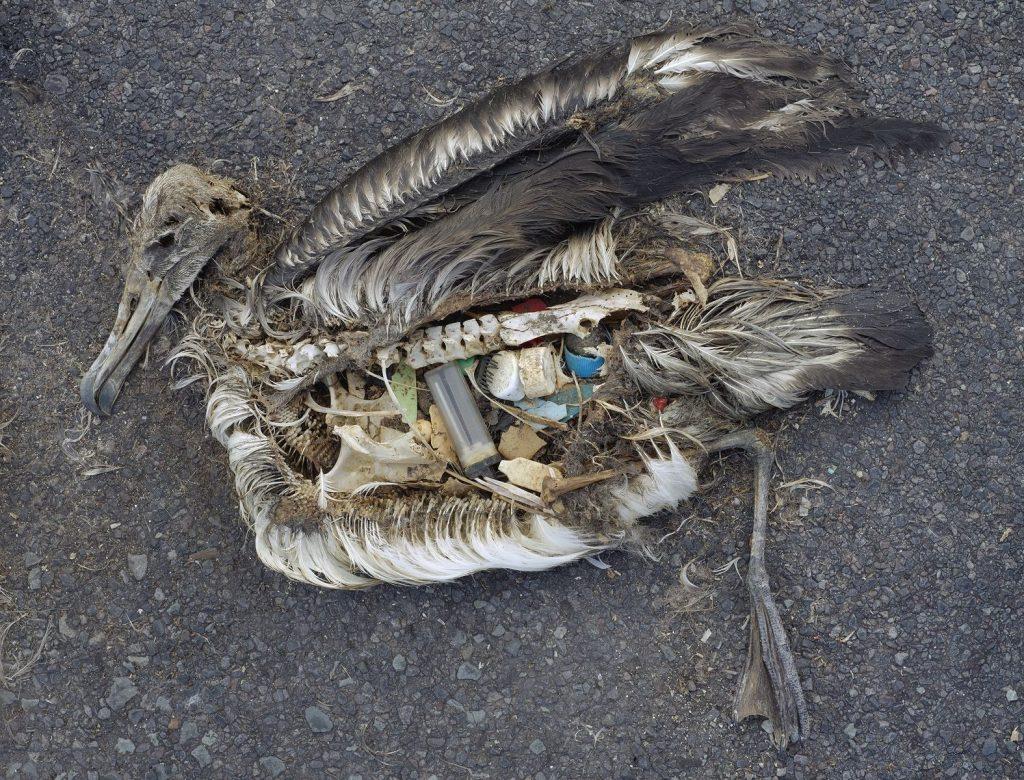 Vták po tom, čo si pomýlil potravu s plastom. Foto: ocean.si.edu