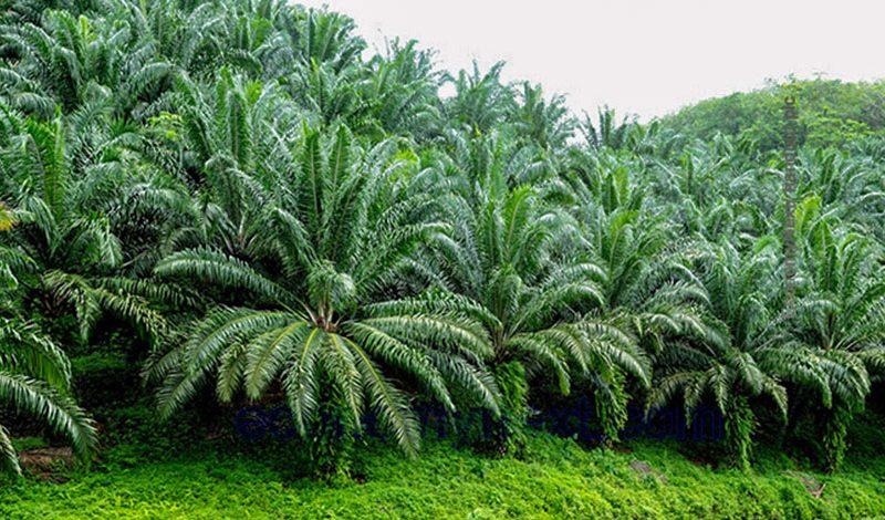 Palma olejná